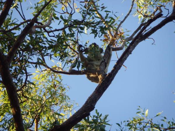 Et voilà le Koala !!