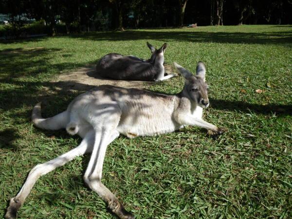 des kangourous à la cool !