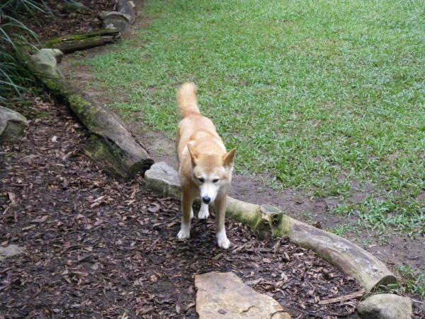Découverte des dingos avant d'en voir plus sur Fraser Island.