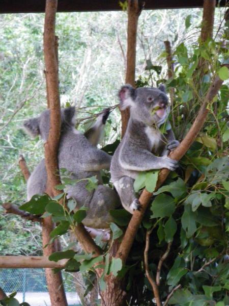 Découverte des koalas avant voir plus sur Magnetic Island.